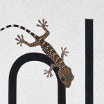 Juvenile Tokay Gecko
