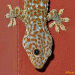 Tokay Gecko Head