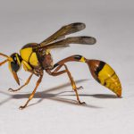 Potter or Mason Wasp
