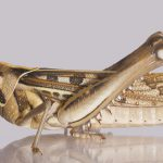 Brown-Spotted Locust or Migratory Bird Locust