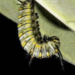 Plain Tiger Butterfly Caterpillar