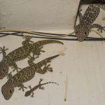 Tokay Geckoes
