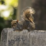 Eastern Grey Squirrel, Brompton Cemetary