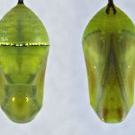 Plain Tiger Butterfly Chrysalis